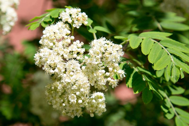 The white flowers of mountain ash on a background of green leaves in the spring on a clear Sunny day. Selective focus. Texture backgrounds for graphic stock photo