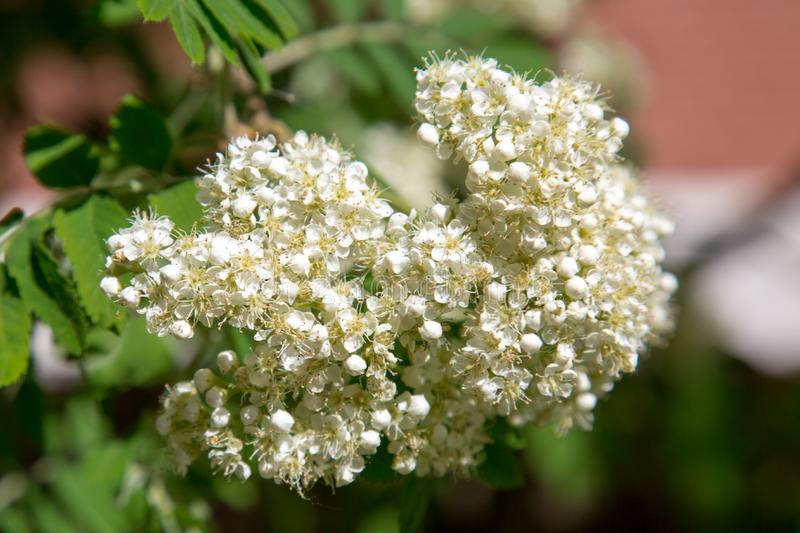 The white flowers of mountain ash on a background of green leaves in the spring on a clear Sunny day. Selective focus. Texture backgrounds for graphic stock photography
