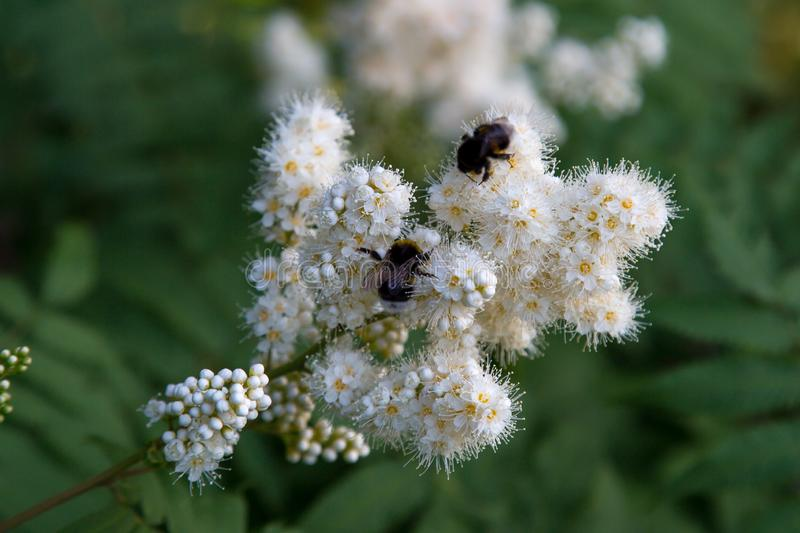 White flowers of a mountain ash with a bumblebee on a background of green leaves. Selective focus. stock photos