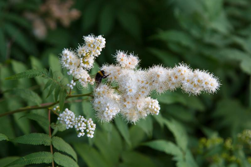 White flowers of a mountain ash with a bumblebee on a background of green leaves. Selective focus. stock image