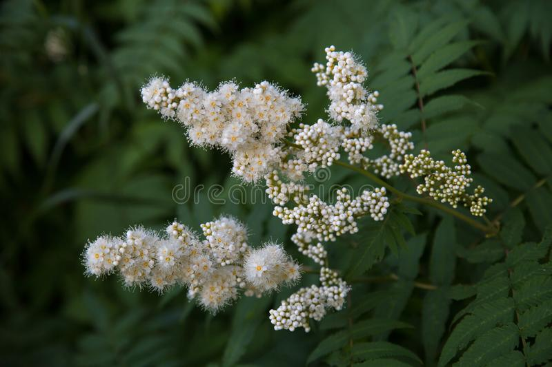 White flowers of a mountain ash with a bumblebee on a background of green leaves. Selective focus. Nature flora royalty free stock image