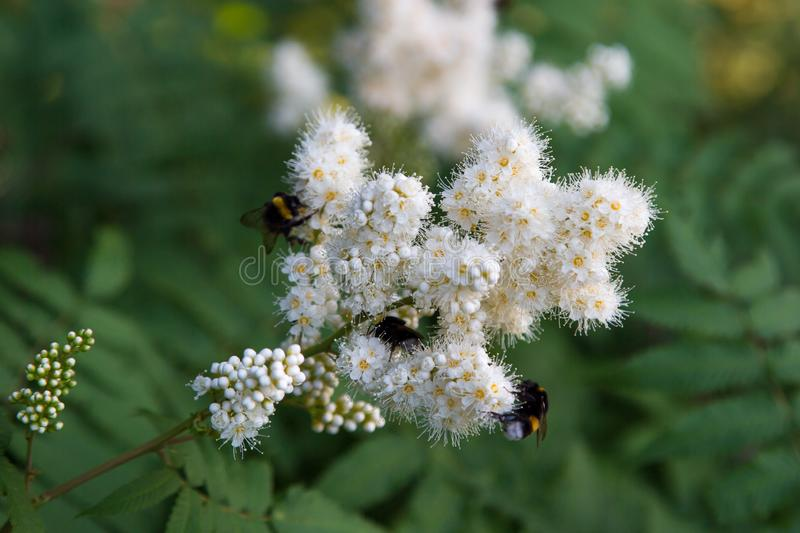 White flowers of a mountain ash with a bumblebee on a background of green leaves. Selective focus royalty free stock images