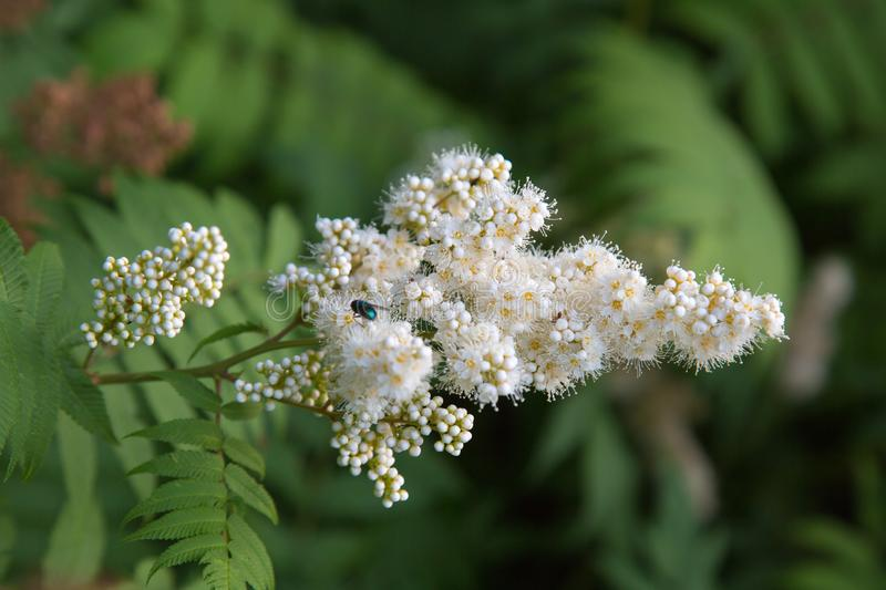 White flowers of a mountain ash with a bumblebee on a background of green leaves. Selective focus. Nature flora royalty free stock photography