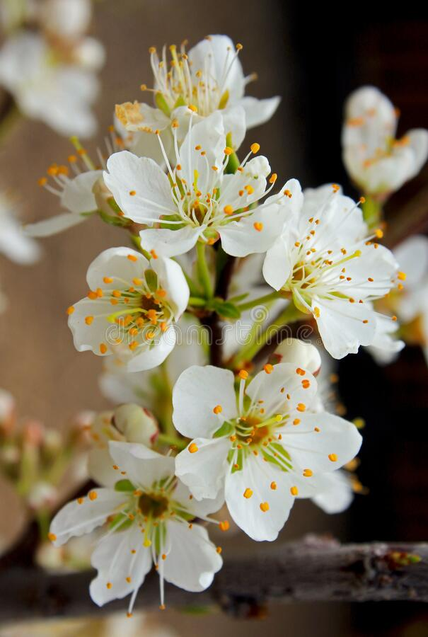 Free White Flowers Of Sweet Treat Pluerry, A Hybrid Between A Plum And Sweet Cherry Royalty Free Stock Photos - 175480278