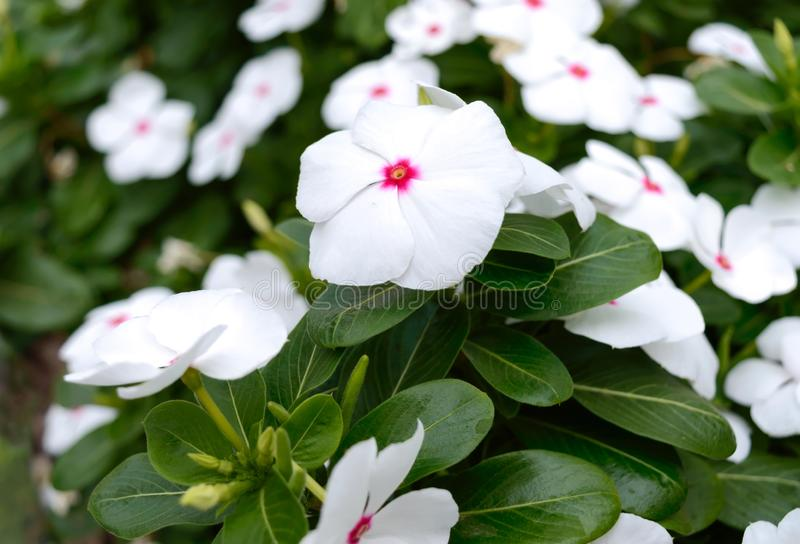White flowers periwinkle in the garden. Beautiful flower beds with flowering shrubs stock photo