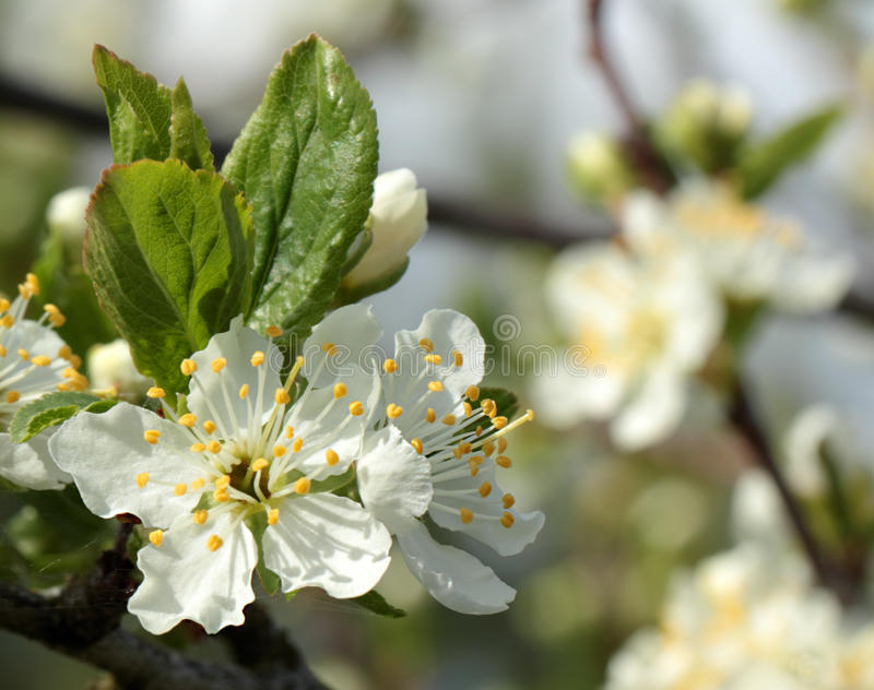 White flowers on a plum tree royalty free stock image