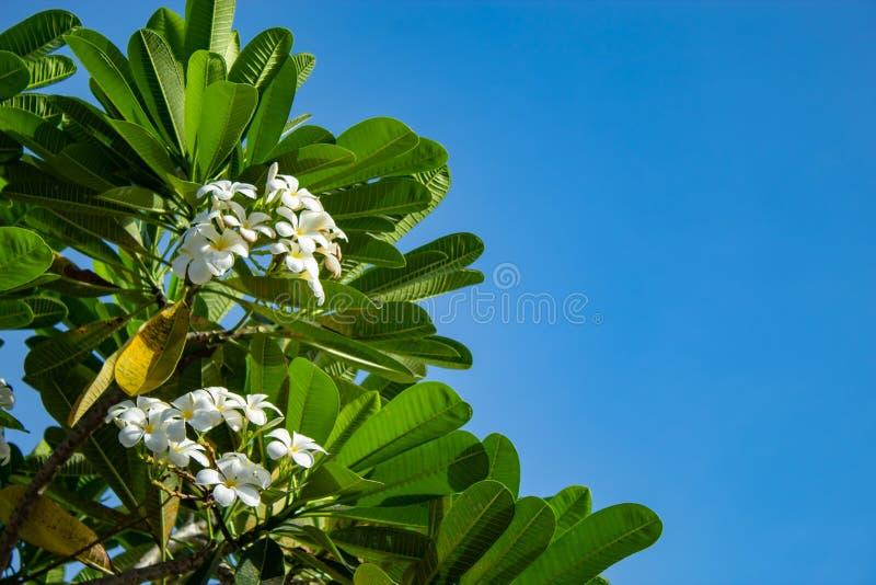 White flowers or Plumeria obtusa on the sky. royalty free stock images