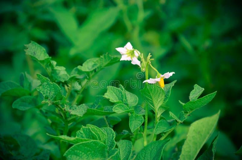 White flowers of a potato on green background. royalty free stock photos