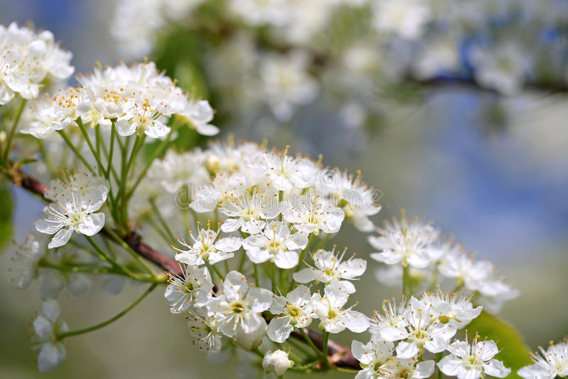 White Flowers of Prunus Close Up stock image