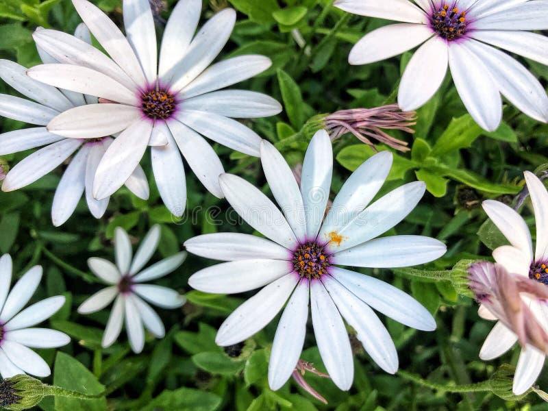 White flowers with purple dozen stock photography