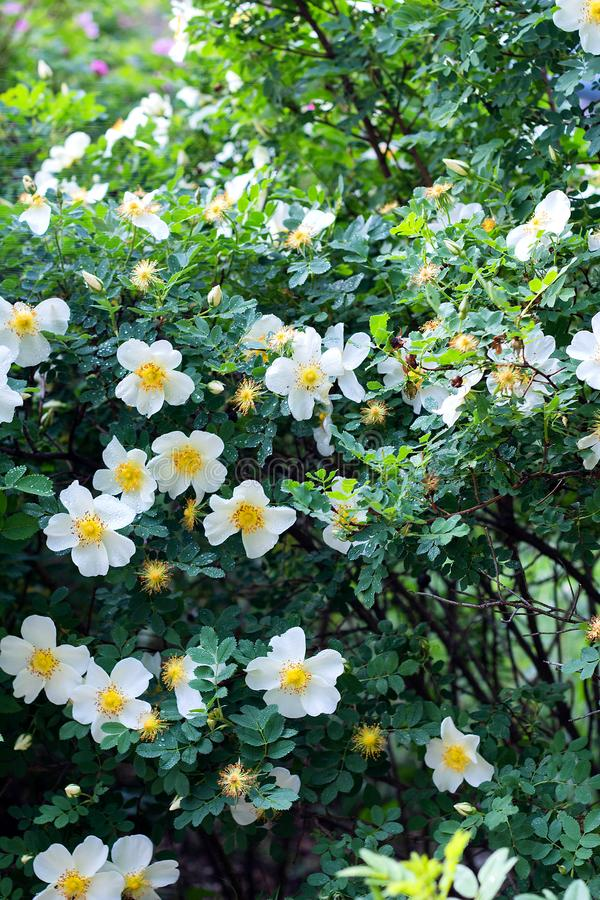 White flowers rose hips on a wild rose Bush, bloom, spring time. White beautiful flowers rose hips on a wild rose Bush, bloom, spring time beauty blooming stock images