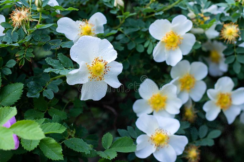 White flowers rose hips on a wild rose Bush, bloom, spring time. White beautiful flowers rose hips on a wild rose Bush, bloom, spring time beauty blooming royalty free stock images