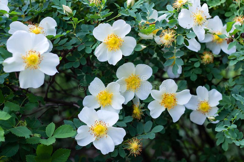 White flowers rose hips on a wild rose Bush, bloom, spring time. White beautiful flowers rose hips on a wild rose Bush, bloom, spring time beauty blooming royalty free stock photography