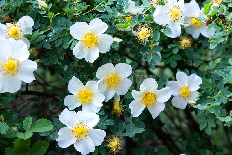 White flowers rose hips on a wild rose Bush, bloom, spring time. White beautiful flowers rose hips on a wild rose Bush, bloom, spring time, beauty, blooming royalty free stock images