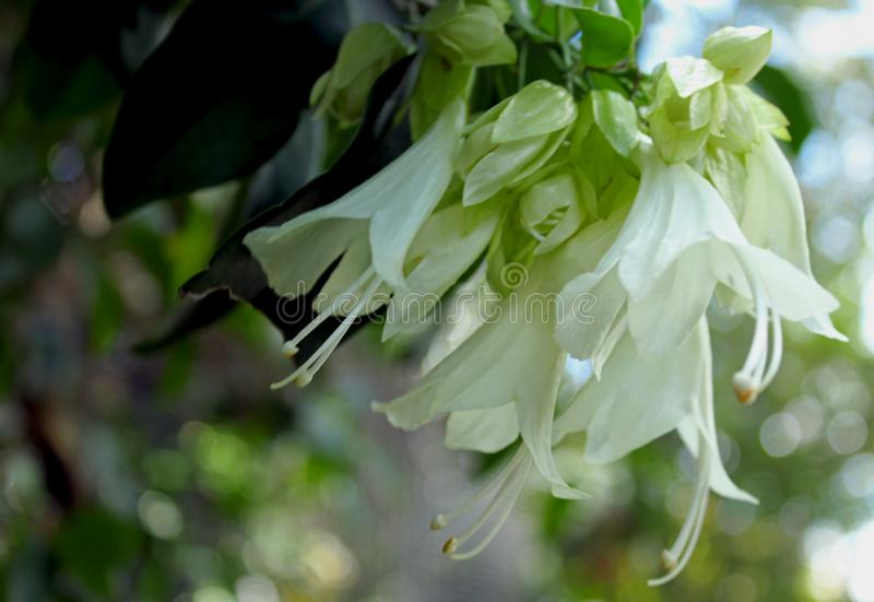 White flowers of Royal creeper royalty free stock photography