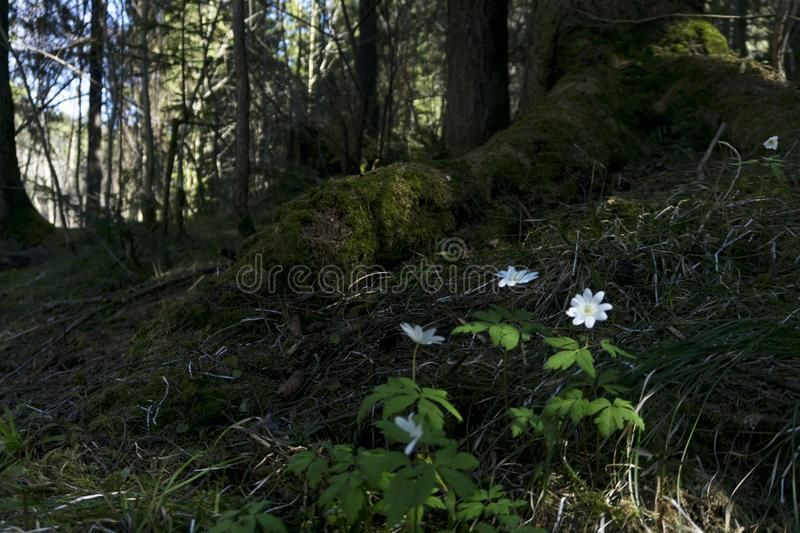 Snowdrops in the forest thicket royalty free stock photography