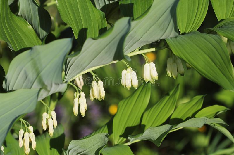 White flowers of Solomon s Seal plant of genus Polygonatum royalty free stock photo