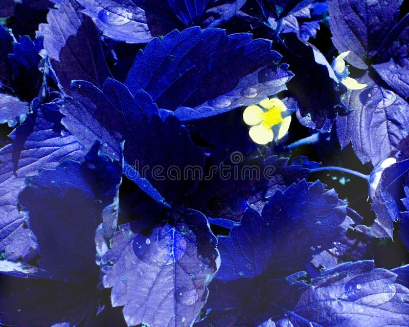 White flowers spread because of the blue leaves royalty free stock image