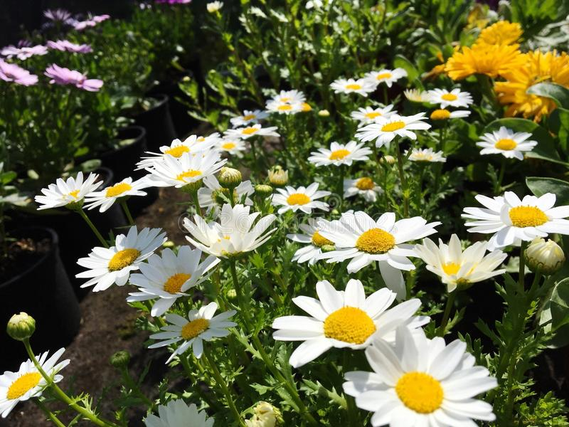 daisies under the sun stock image