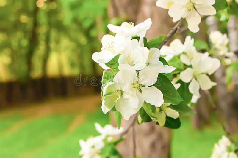 White flowers spring design copy space. Flowers apple tree white fruit tree sunny day royalty free stock photo