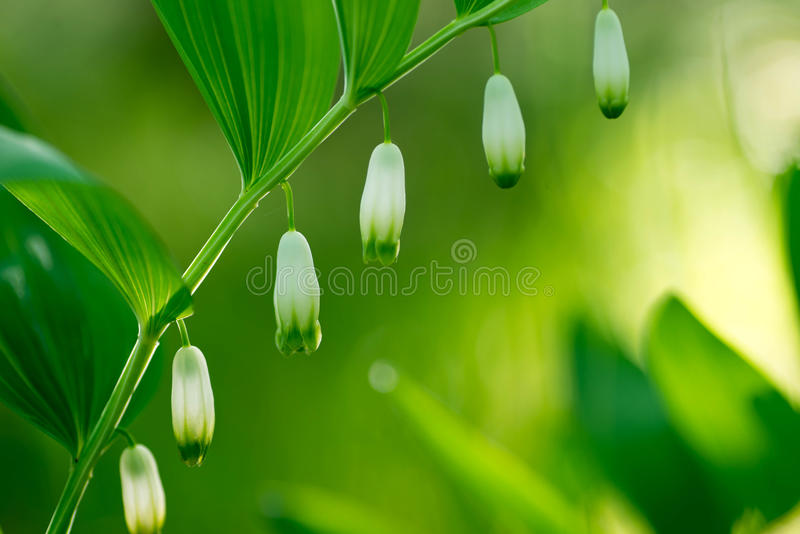White flowers in spring forest - King Solomon`s seal royalty free stock images