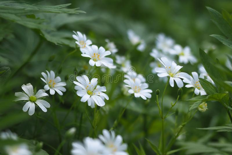 White flowers Stellaria holostea, selected focus close up royalty free stock image