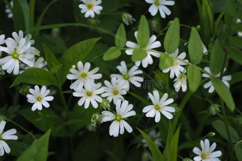 White flowers Stellaria holostea, selected focus close up stock photo