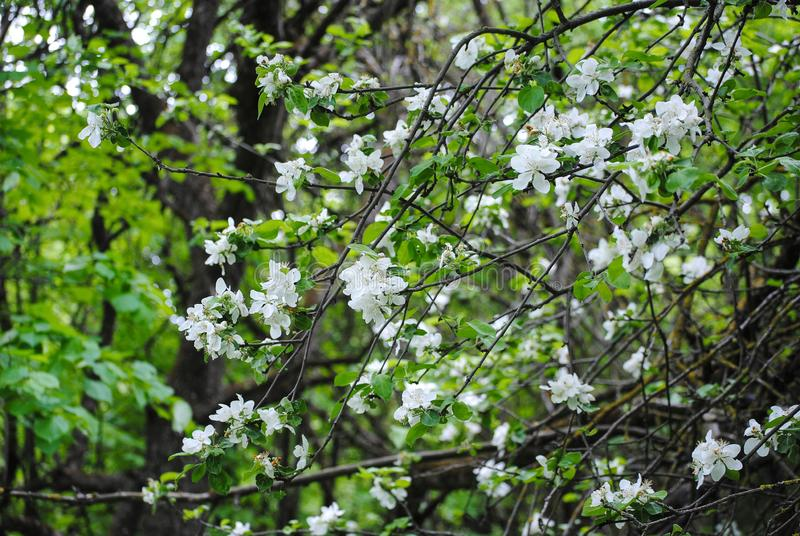 White flowers on a tree royalty free stock images