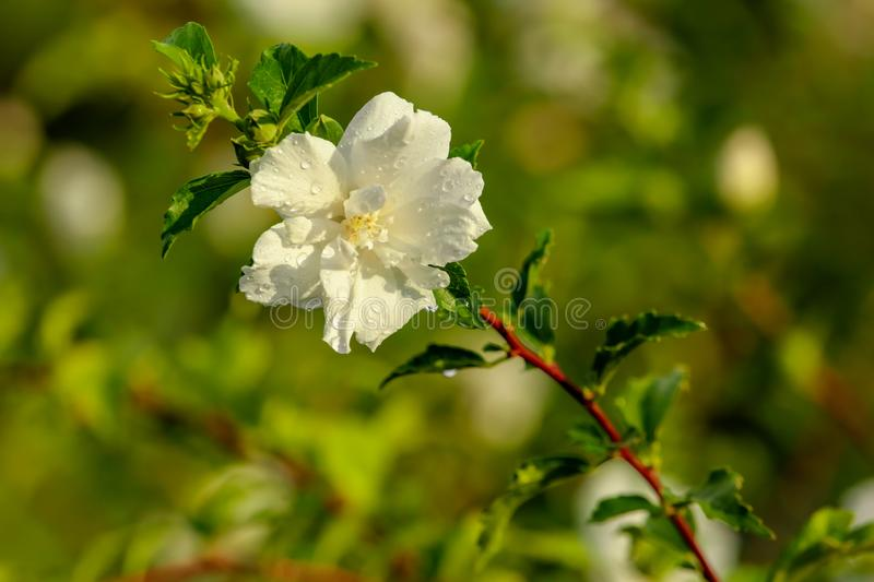 White flowers on a tree in the park royalty free stock photos