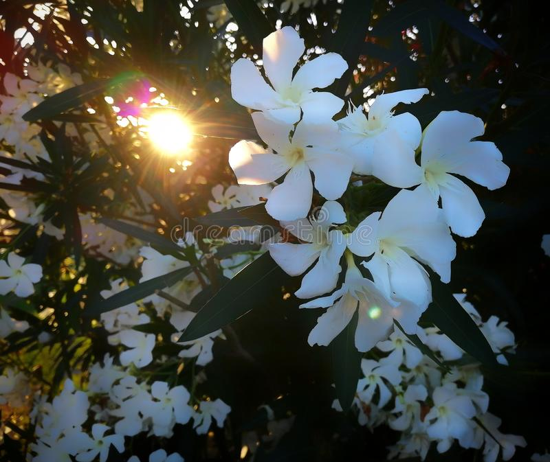 White flowers in Tuscany. Flowers in summer, sunlight, whiteflower, ray royalty free stock photography