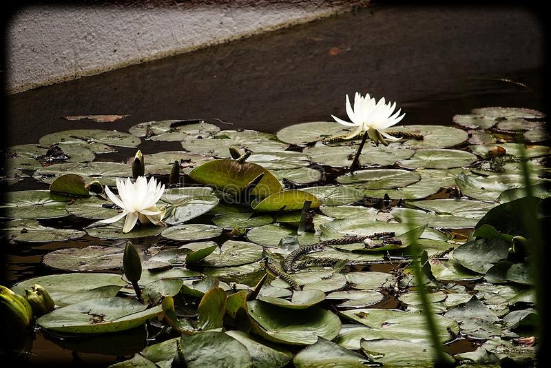 White flowers water lilies growing among green leaves in a garden pond. Beautiful white flowers water lilies growing among green leaves in a garden pond stock image