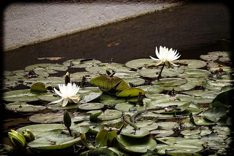 White flowers water lilies growing among green leaves in a garden pond. Beautiful white flowers water lilies growing among green leaves in a garden pond stock photos