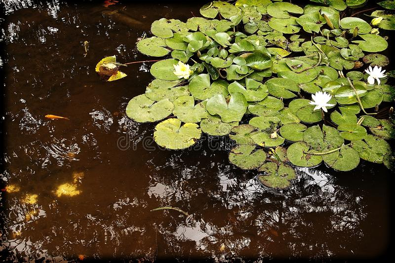 White flowers water lilies growing among green leaves in a garden pond. Beautiful white flowers water lilies growing among green leaves in a garden pond royalty free stock photos