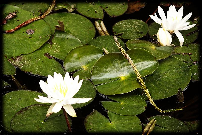 White flowers water lilies growing among green leaves in a garden pond. Beautiful white flowers water lilies growing among green leaves in a garden pond stock photography
