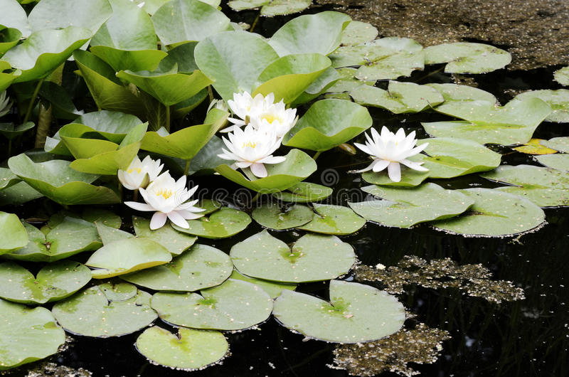 White flowers of water lilies. White flowers and leaves of water lilies royalty free stock photo