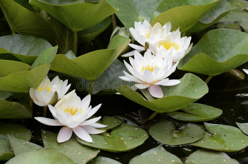 White flowers of water lilies. White flowers and leaves of water lilies royalty free stock image