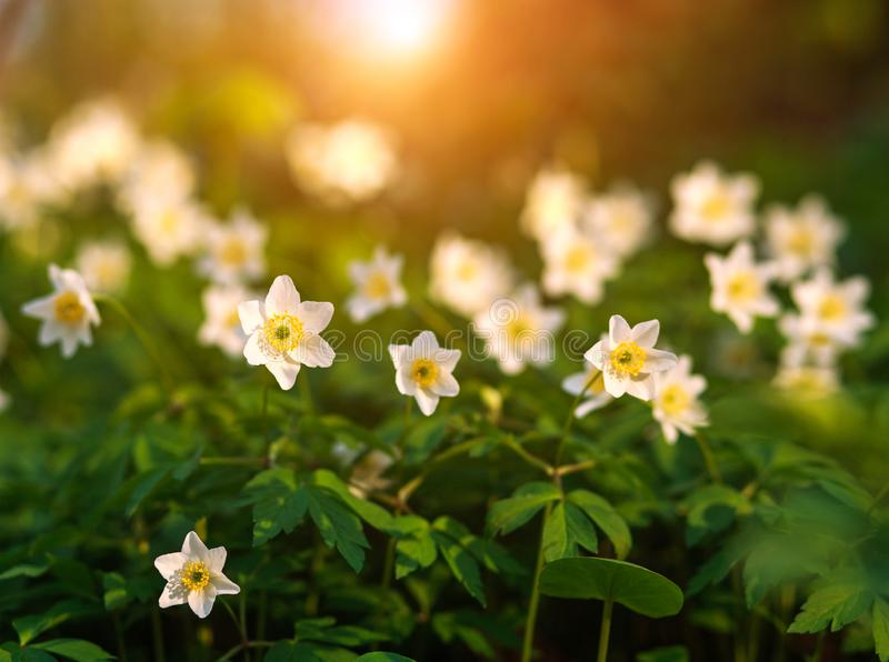 White flowers in wild meadow bloom in spring at sunset light on green field. White flowers in a wild meadow bloom in spring at sunset light on green field stock images
