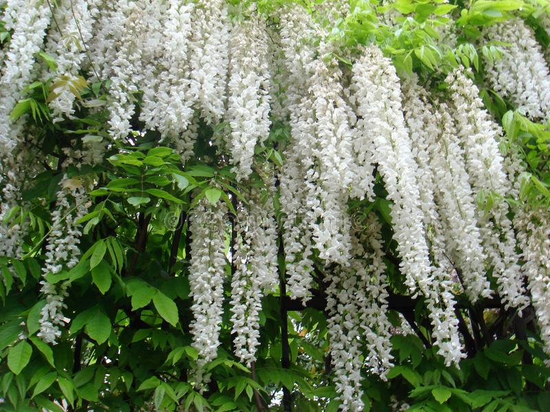 Wisteria sinensis in bloom. White flowers of Wisteria sinensis climber royalty free stock photos