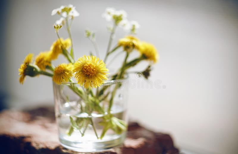 White flowers and yellow flowers coltsfoot are in a small glass of water stock photo