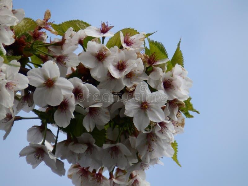 White flowers yoshino cherry blossom tree royalty free stock images