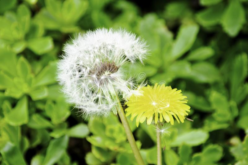 White fluffy blooming dandelion and yellow dandelion on a background of green grass royalty free stock photos
