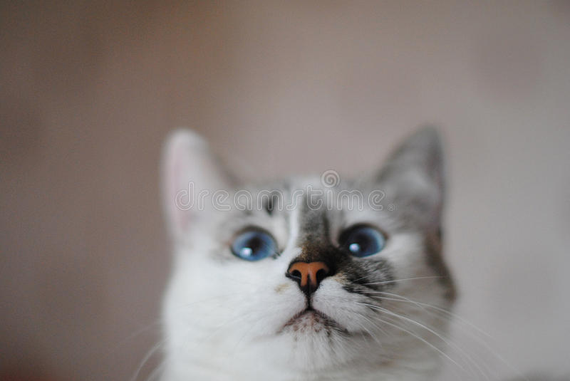 White fluffy blue-eyed cat. Close portrait. Free space for text or design stock image