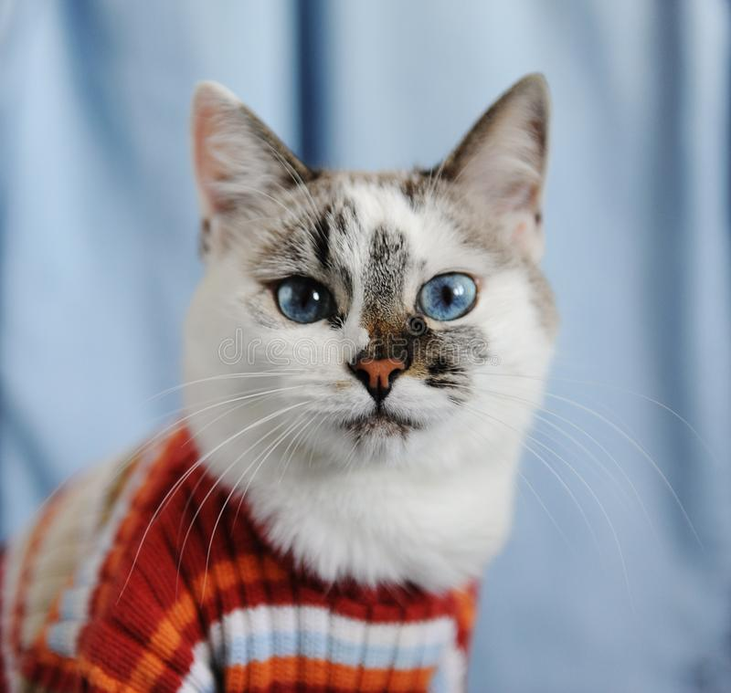 White fluffy blue-eyed cat dressed in striped orange sweater. Close portrait on single denim background. Fashion look royalty free stock photos
