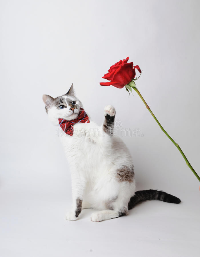 Free White Fluffy Blue-eyed Cat In A Stylish Bow Tie On A Light Background With A Red Rose. Red Silk Bow Tie With A Pattern Royalty Free Stock Photography - 84169677