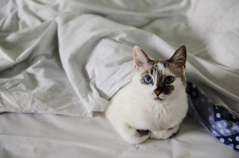 White fluffy blue-eyed cat lies in bed, covered with a blanket stock photo