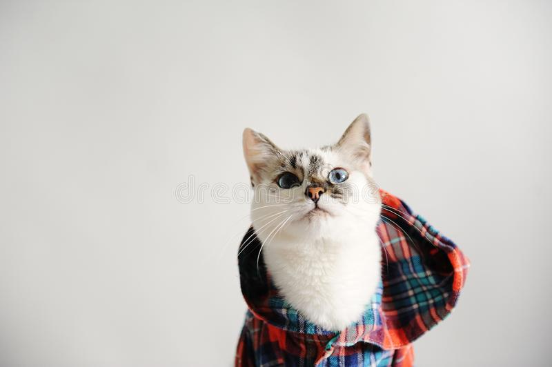 White fluffy blue-eyed cat in a plaid shirt with a hood on a light background. Close-up portrait. Free space for design stock image