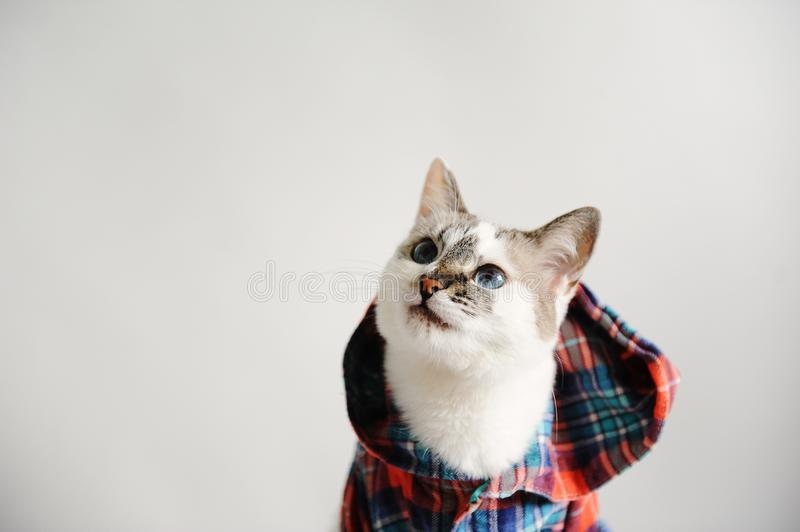 White fluffy blue-eyed cat in a plaid shirt with a hood on a light background. Close-up portrait. Free space for design royalty free stock images