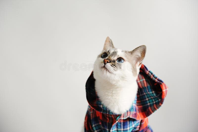 White fluffy blue-eyed cat in a plaid shirt with a hood on a light background. Close-up portrait. Free space for design stock photo