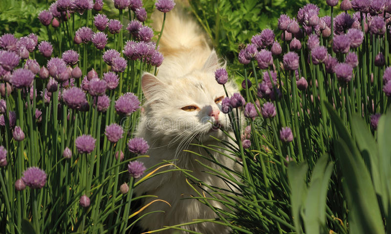 Download White fluffy cat stock image. Image of white, perfume - 18345477