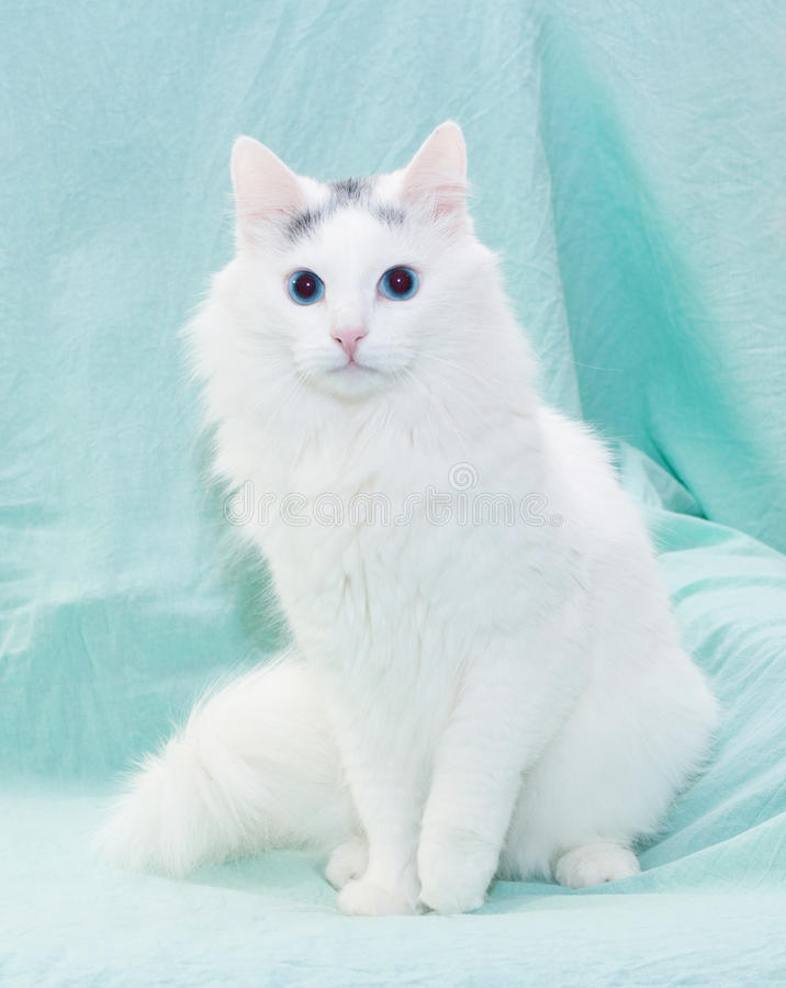 White Fluffy Cat With Blue Eyes Sitting Stock Image ...